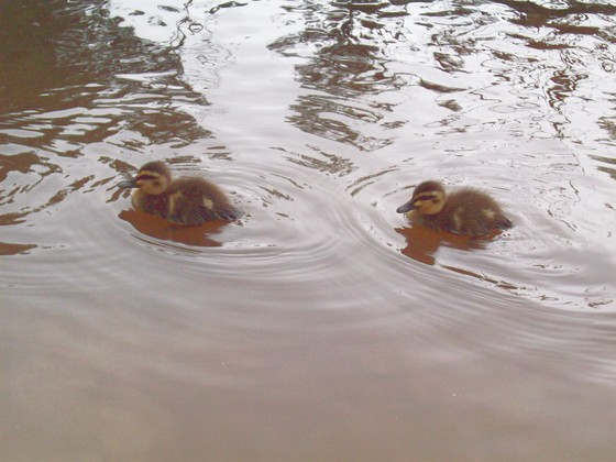 Retouched_ducks