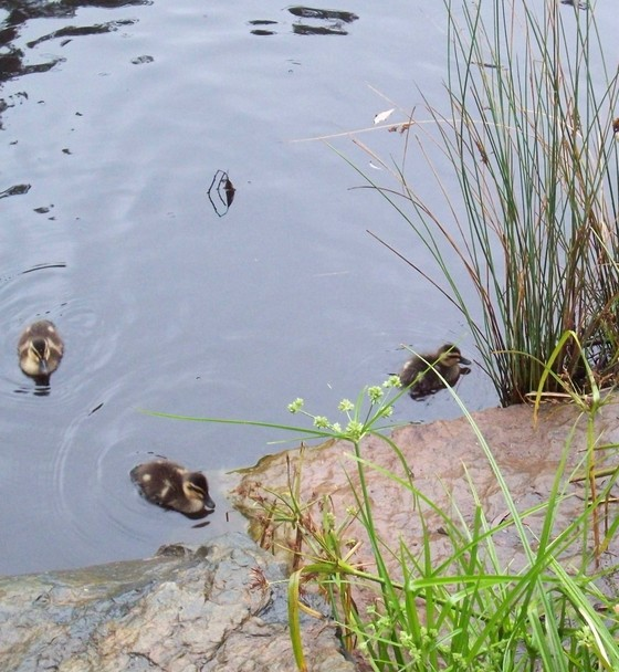 Cropped_ducks