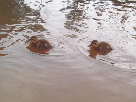 Retouched_ducks